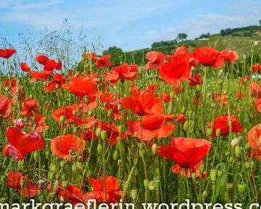 Klatschmohnfeld im Markgräflerland – Monet hätte seine Freude gehabt
