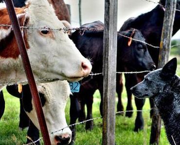 Warum eine fleischfreie Ernährung schlecht ist für Haus- UND Nutztiere