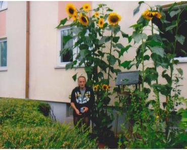 Foto: gigantische Sonnenblumen