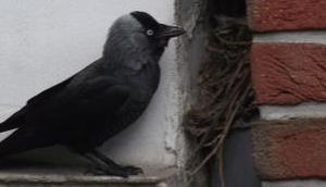 Foto: Dohle Eingang ihrem Nest