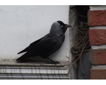 Foto: Dohle am Eingang zu ihrem Nest