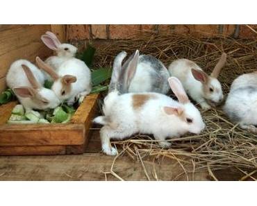 Madagaskar – die Kaninchenfarbe