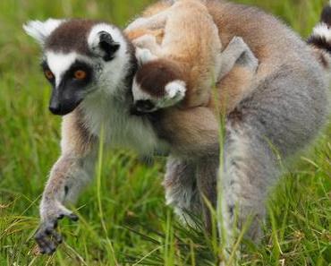Madagaskars Tiere in Zoos