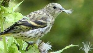 Bild Woche: Vogel beim Distelrupfen
