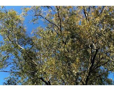 Foto: Birke im Herbst