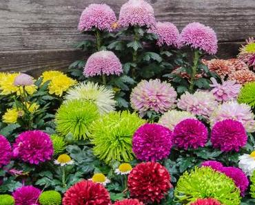 Ein Besuch auf der Chrysanthema in Lahr