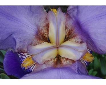 Foto: Blaue Schwertlilienblüte