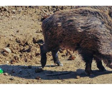 Das mit den Wildschweinen und der Afrikanischen Schweinepest…