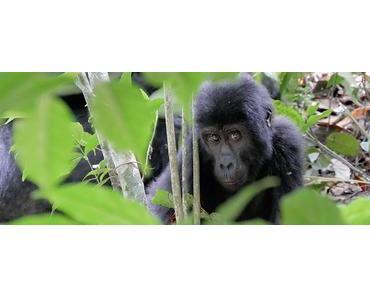 Menschenaffen Trekking in Afrika und Südostasien