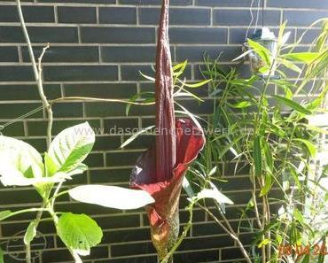 Amorphophallus konjak – Teufelszunge/Tränenbaum
