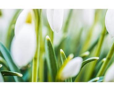 Bild der Woche: Frühlingsboten Schneeglöckchen