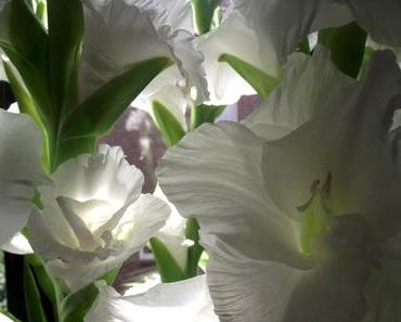 Foto: Schneeweiße Gladiolen