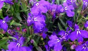 Foto: Männertreu Blüte