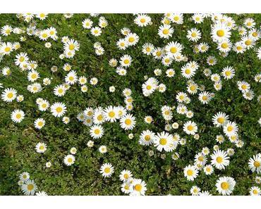 Foto: Zweihundert Margeritenblüten