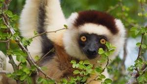 Tanzende Larvensifakas Madagaskar