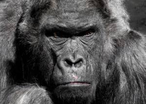 Der Affe, der zum König gewählt wurde