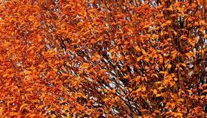 Foto: Buche braunen Blättern
