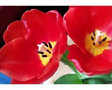 Foto: Rote Tulpen