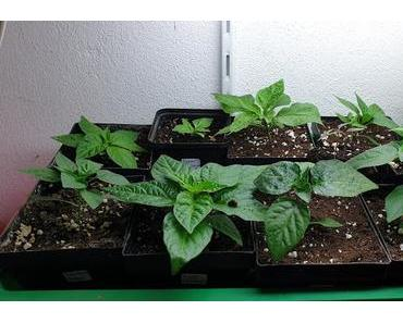 Sonntagsupdate Chilipflanzen