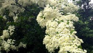Foto: Weiße Blütenpracht