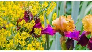 meinem Garten Mai: Ginster, Bartiris Geißblatt