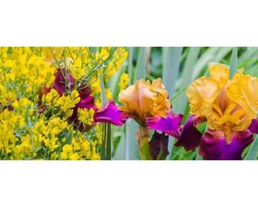 Aus meinem Garten – Mai: Ginster, Bartiris und Geißblatt