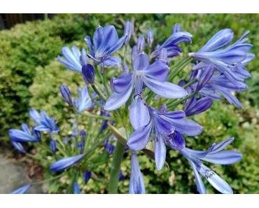 Foto: Blütenball einer blauen Schmucklilie