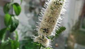 Foto: Minzblüten Gegenlicht