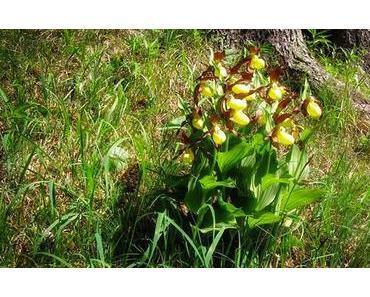 Bild der Woche: Frauenschuh Orchidee