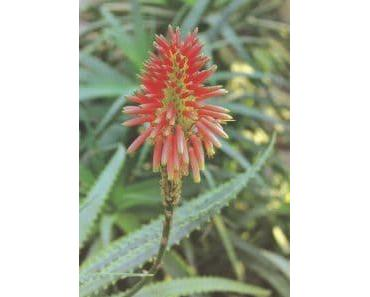 Aloe vera | Wellness | Heilpflanze