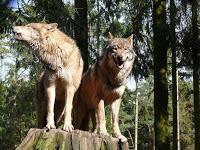 Vier Wölfe sollen sterben