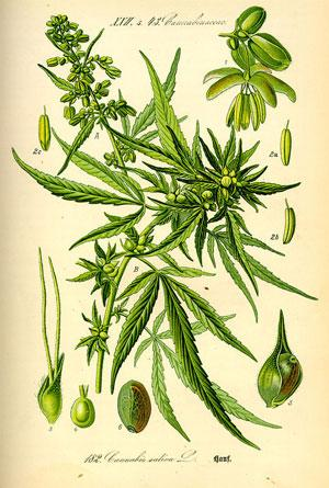 Hemp Illustration