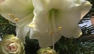 Weihnachtszeit Lilamalerie oder Amaryllis, Rosen Tannengrün