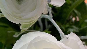 Friday-Flowerday oder Heute Ton: Weiß