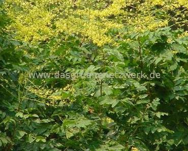 Blasenesche/Blasenbaum/Koelreuteria paniculata