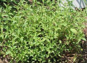 Stevia für die Welt – direkt aus Paraguay