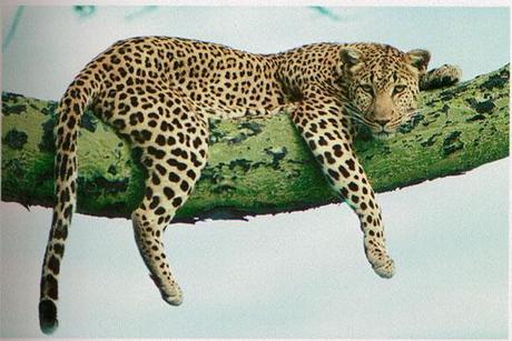 Nageldesign: Der bunte Leopard