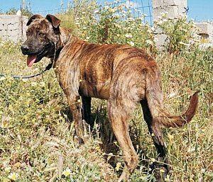 Wer kennt diesen Hund – Amadeus wird im Raum Augsburg gesucht