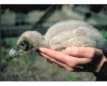 Geburtsanzeige: das erste Bartgeierbaby in den Hohen Tauern