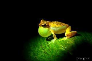 Neue Froschart in Panama entdeckt - Vorsicht, frisch gestrichen!