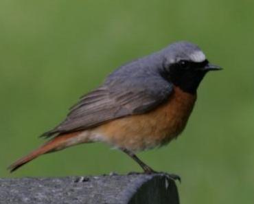 Gartenrotschwanz ist Vogel des Jahres 2011