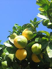 Just another lemon tree