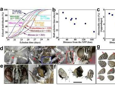 """Fukushima Mutation entdeckt: Der """"pale grass blue butterfly"""" hat Stummelflügel und schlechte Augen bekommen"""