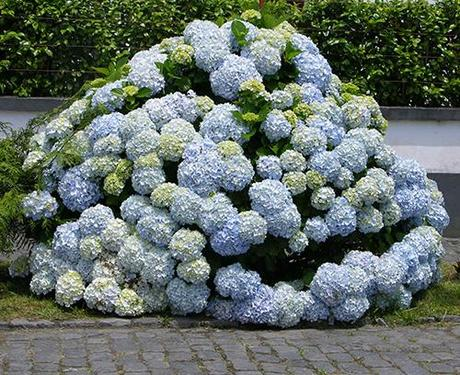Hortensien Trocknen hortensien trocknen