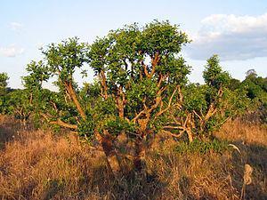 Yerba Mate – 40% Preisanstieg durch klimabedingte Missernten