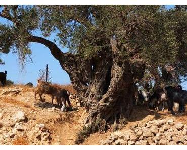 Olivenernte in Hebron: Wann erleben diese Bäume den Frieden, den sie symbolisieren?