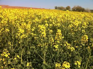 Gelb, so weit das Auge reicht: Rapsfeld