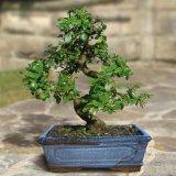 Warum Bonsai-Bäume so klein sind