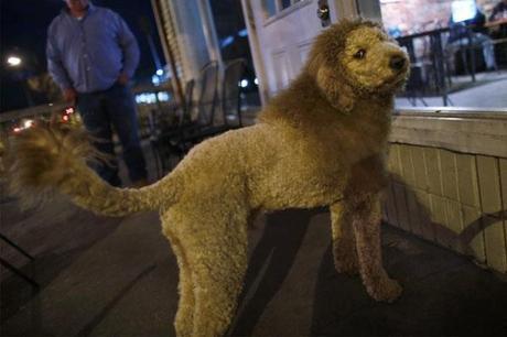 Labradoodle as a Lion _1