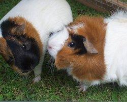 Meerschweinchen und Kaninchen gemeinsam halten – geht das?